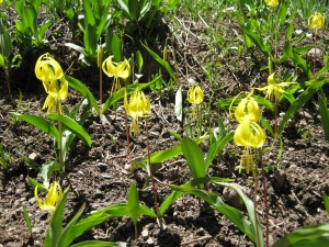 Glacier lilies, aka Yellow Avalance Lilies, only found in subalpine meadows after a good snowy winter.  Deer love to snack on em!