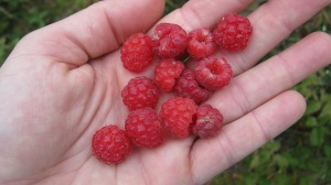 Wild Raspberries...yum!